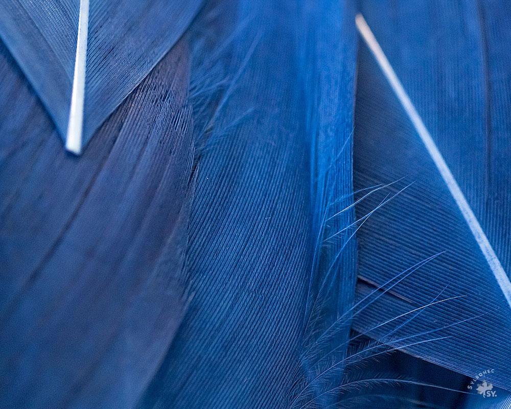 Plumes bleues de la plumassière parisienne Béatrice Bost-Le-Mouël