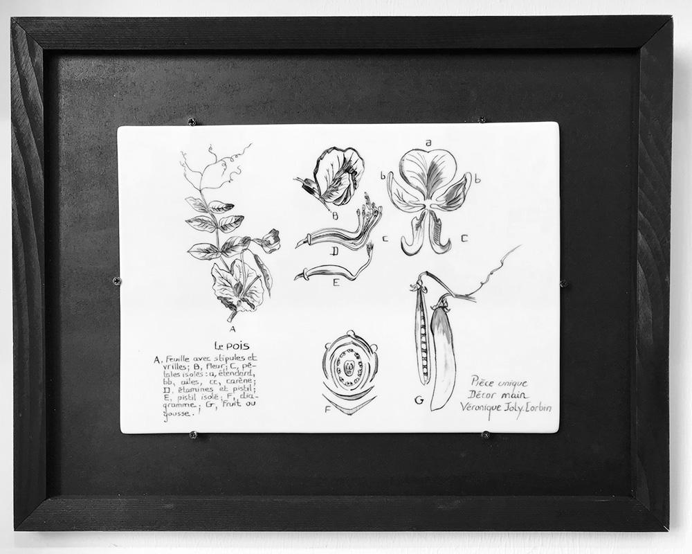 """Planche botanique sur porcelaine - """"Le Pois"""""""