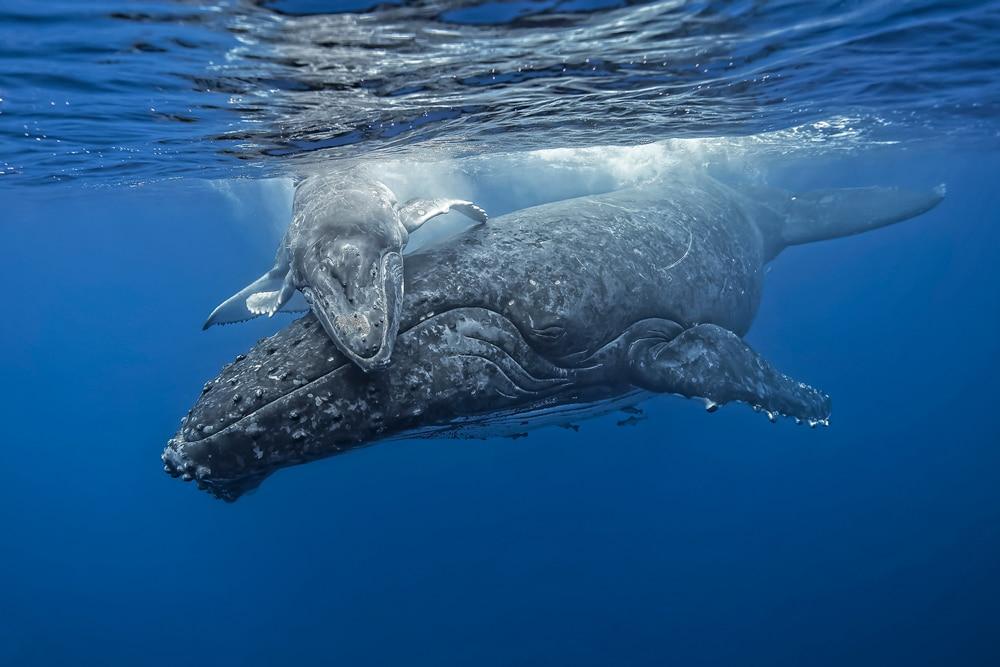 Baleine à bosse Megaptera novaeangliae de Fabrice Guérin