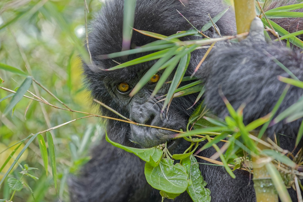 Bébé Gorille de Fabrice Guérin